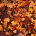 Sleepy trees drop their golden leaves